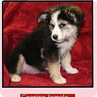 Adopt A Pet :: Caprice (Pom-Erin) - Harrisonburg, VA