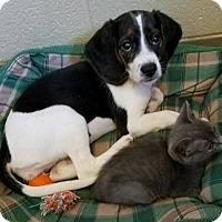 Adopt A Pet :: Aggie - Harrisonburg, VA