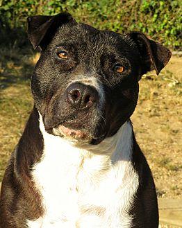 Pit Bull Terrier Mix Dog for adoption in West Babylon, New York - Sammie