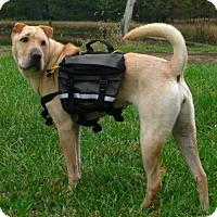 Shar Pei Dog for adoption in Kennesaw, Georgia - Karma