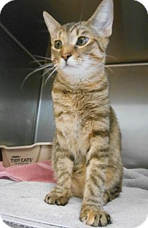 Domestic Shorthair Cat for adoption in Hilton Head, South Carolina - Meteor
