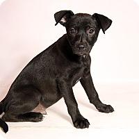 Adopt A Pet :: Marshall Lab Mix - St. Louis, MO