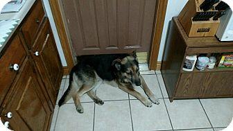 German Shepherd Dog/Labrador Retriever Mix Dog for adoption in Cedar, Minnesota - Buck