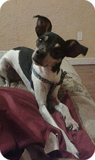 Italian Greyhound/Rat Terrier Mix Dog for adoption in Shawnee Mission, Kansas - Lillian (Lilly)