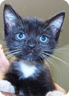 Domestic Shorthair Kitten for adoption in Grants Pass, Oregon - Will