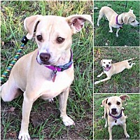 Terrier (Unknown Type, Medium)/Chihuahua Mix Dog for adoption in Lindale, Texas - Honey
