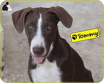 Plott Hound/Labrador Retriever Mix Dog for adoption in St. Catharines, Ontario - Tommy