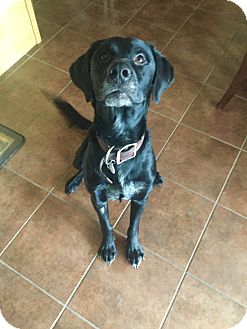Labrador Retriever Mix Dog for adoption in Edmonton, Alberta - Maximus