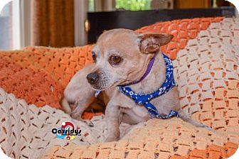 Chihuahua Mix Dog for adoption in Matthews, North Carolina - Jaxson