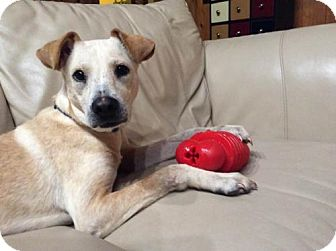 Labrador Retriever/Pit Bull Terrier Mix Dog for adoption in New York, New York - Rubia