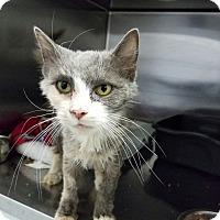 Adopt A Pet :: Lissa - Elyria, OH