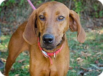 Redbone Coonhound/Hound (Unknown Type) Mix Dog for adoption in Sherman, Connecticut - Christy