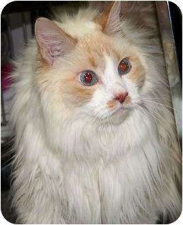 Domestic Longhair Cat for adoption in Edmonton, Alberta - Tippy