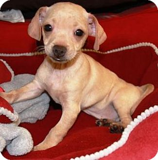 Chihuahua/Dachshund Mix Puppy for adoption in Gilbert, Arizona - Garlic