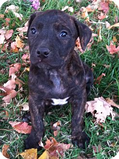 Boxer Mix Puppy for adoption in Chattanooga, Tennessee - Nellie