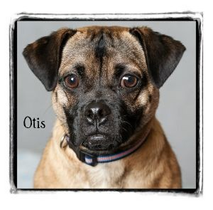 Pug/Jack Russell Terrier Mix Dog for adoption in Warren, Pennsylvania - Otis