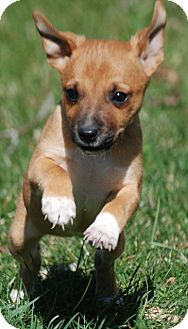 Jack Russell Terrier/Chihuahua Mix Puppy for adoption in Providence, Rhode Island - Kelsee