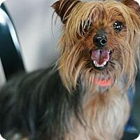 Adopt A Pet :: Barbie - Canoga Park, CA