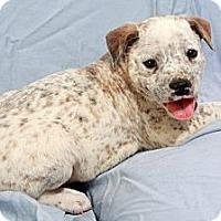 Adopt A Pet :: Hamlet Heeler - St. Louis, MO
