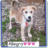 Adopt A Pet :: Allegra (Pom) - Allentown, PA