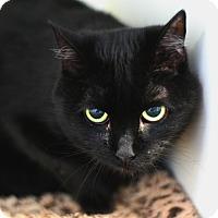 Domestic Shorthair Cat for adoption in Staunton, Virginia - Maxine