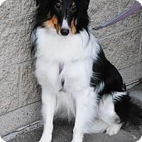 Adopt A Pet :: Amy - Brooklyn Center, MN