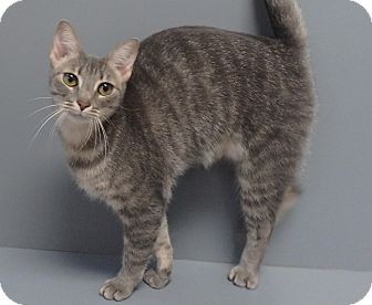 Domestic Shorthair Cat for adoption in Seguin, Texas - Darla