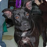 Adopt A Pet :: Millie - Brooklyn, NY