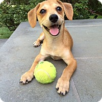 Adopt A Pet :: Shep - MEET ME - Norwalk, CT