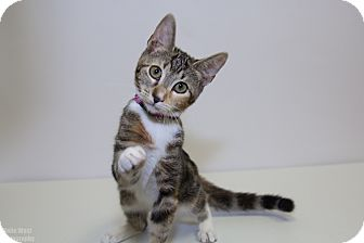 Domestic Shorthair Kitten for adoption in Mission Viejo, California - Butter