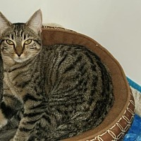 Adopt A Pet :: Tiger Kitty II - Cypress, TX