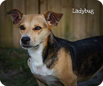 Beagle Mix Dog for adoption in BROOKSVILLE, Florida - LADYBUG