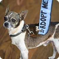 Chihuahua Mix Dog for adoption in Hanover, Pennsylvania - Dr. Frank-N-Furter