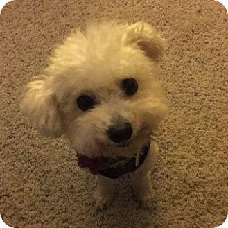 Bichon Frise Mix Dog for adoption in Placentia, California - Princess