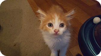 Domestic Mediumhair Kitten for adoption in Delmont, Pennsylvania - 1Jameson