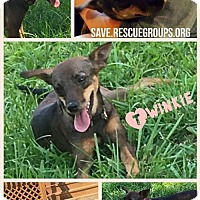 Adopt A Pet :: Twinkie - Island Heights, NJ