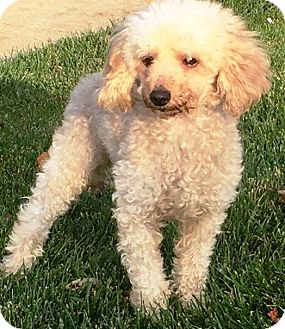 Poodle (Miniature) Mix Dog for adoption in Oswego, Illinois - Lucky Charms