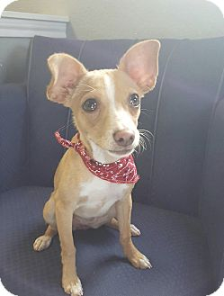 Chihuahua Mix Puppy for adoption in San Leon, Texas - Chanel