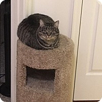 Domestic Shorthair Cat for adoption in Covington, Kentucky - Wilma