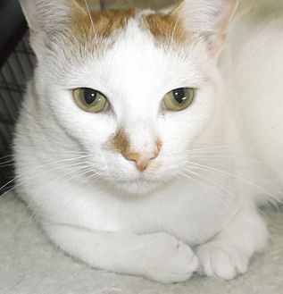 Domestic Shorthair Cat for adoption in Farmington Hills, Michigan - Hoppy
