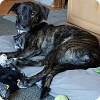 Adopt A Pet :: Pippin - Grafton, WI