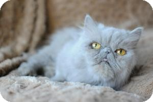 Persian Cat for adoption in Columbus, Ohio - Layla