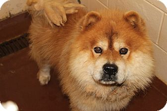Chow Chow Dog for Sale in Atlanta, Georgia - Sam