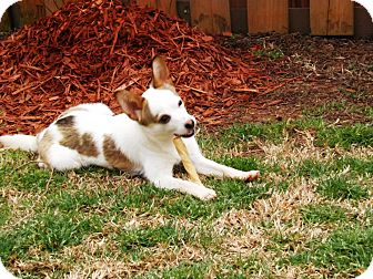 Jack Russell Terrier Mix Dog for adoption in North Brunswick, New Jersey - Jackboy