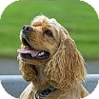 Cocker Spaniel Dog for adoption in Tacoma, Washington - JOEY