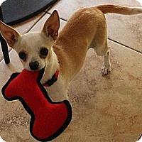 Adopt A Pet :: Sweet Tiny Bambi - La Habra Heights, CA