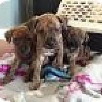 Adopt A Pet :: Nikki, Iggy, Axl - Marlton, NJ
