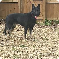 Adopt A Pet :: Sheba - Georgetown, KY