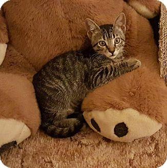 Domestic Shorthair Cat for adoption in San Jose, California - Rascal