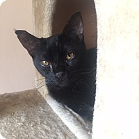Domestic Shorthair Cat for adoption in Los Angeles, California - Salem
